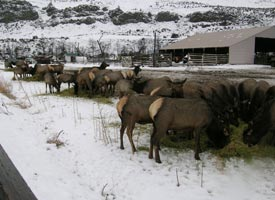 Elk Feeding Station - White Pass - Washington State Naches